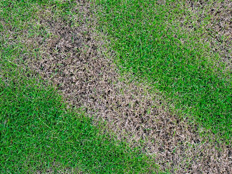 Lawn Fungus Disease